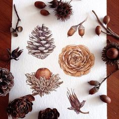 #botanicalart #watercolor #nut#pinecone #cedarrose #acorn#木の実#松ぼっくり #Regram via @kyoko_botanical Botanical Flowers, Botanical Prints, Watercolor Flowers, Watercolor Paintings, Wreath Drawing, Nature Drawing, Botanical Drawings, Christmas Art, Watercolor Illustration