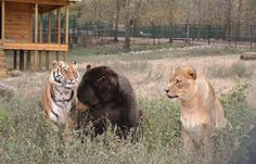Lions and Tigers and Bears? Oh my!!   Eight years ago during a drugs raid police rescued three cubs - bear, lion and tiger.  They used to live in a drug baron's house.  Since then animals live in the Noah's Ark zoo.  People decided to keep them together and they became friends.  Now Baloo, who is a 1,000 pound bear, Shere Khan, a 350 pound tiger and Leo, who is also 350 pounds are the best tourist attracrtion in the zoo.