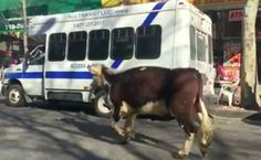 Runaway Cow's Life Saved After Daring Escape From Slaughterhouse