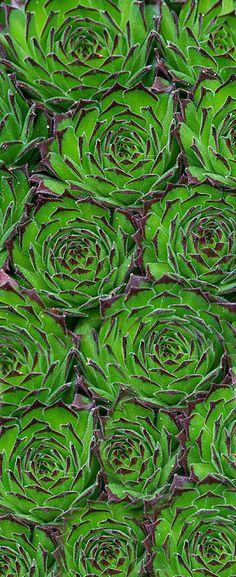 Green Anchisi#StrawberryNet #RussellOrganics