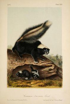 Skunk, The quadrupeds of North America, John James Audubon, Vol I, 1851-54.