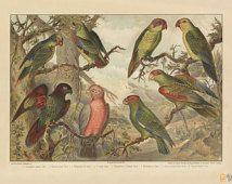 Parrots Art Print - Vintage Animal Giclee - Nature Wall Art