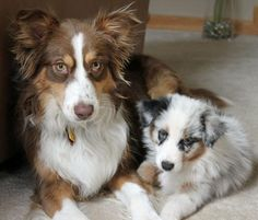 Bodie the Australian Shepherd with older sister Kiva----I will be getting a mini aussie! Aussie Shepherd, Australian Shepherd Puppies, Australian Shepherds, Weenie Dogs, Doggies, Super Cute Animals, Working Dogs, Beautiful Dogs, Dog Life