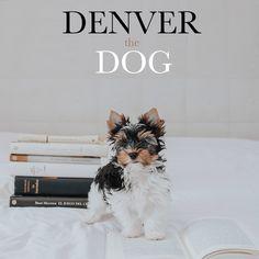 "Denver The Dog on Instagram: ""Paso de estudiar más por hoy. Step of studying more fit today#perrospequeños #smalldog #puppy#biewerterrier#perritos"" Denver The Dog, Small Dogs, Terrier, Instagram, Animals, Studying, Doggies, Little Dogs, Animales"