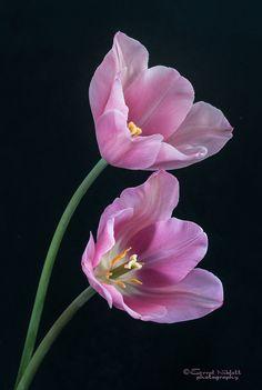 ~~PLANT PORTRAIT (2) PINK TULIPS by Tripod01~~