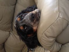 Blue! A black and white tri-colored roan English Springer Spaniel! He is sooo adorable!!!