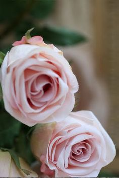 baby pink roses my favorite