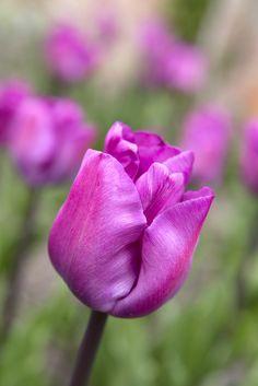 Triumph group tulip 'Magic Lavender'. Photo by Sarah Cuttle.