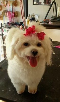 This sweet little girl is Sophie. She is a maltipoo and weighs just a little over 11 pounds. She is great with other dogs, housetrained, walks well on a leash. Sophie has been spayed, current on shots and microchipped, all she is needing now is the perfect home. http://www.doggielife.com/sophie/dogs/TKQZQZ #dogs #maltese