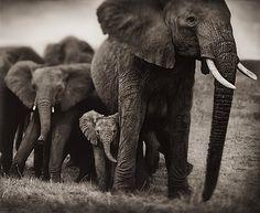 "NICK BRANDT, ""ELEPHANT MOTHER AND TWO BABIES, SERENGETI, 2002"". Signerad Nick Brandt och numrerad 3/5. Pigment print, bildyta 107 x 130 cm.  PROVENIENS Fotografiska, Stockholm.  UTROPSPRIS 175 000 - 200 000 SEK"