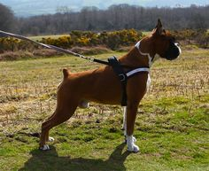 European boxer. Generally have larger bone structure and weigh more than American.