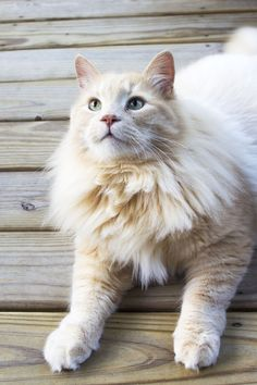Maine Coon.....CAT! Feet are large but not a total weird number of toes.  Louise, wherefore art thou, Louise.