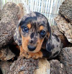 dapple doxie puppy dog eyes! Awwww can I has one?