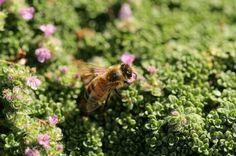 Kleine tijm of Kruiptijm (Thymus serpyllum) is een van de tijmsoorten die bijen aantrekt.