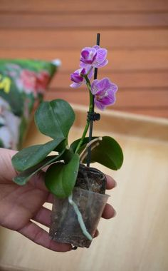 Orchideen erfolgreich umtopfen There are many things to consider when repotting orchids. Here you will learn how to successfully convert the noble plants into a [. Potted Plants Patio, All Plants, Garden Care, Container Flowers, Container Plants, Pot Plante, Container Gardening Vegetables, Orchid Care, Geraniums