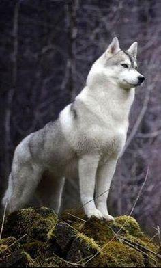 Looks like a malamute, husky, wolf hybrid. I want this dog so bad! - Looks like a malamute, husky, wolf hybrid. I want this dog so bad! Nature Animals, Animals And Pets, Funny Animals, Cute Animals, Beautiful Dogs, Animals Beautiful, Beautiful Places, Tier Wolf, Tier Fotos