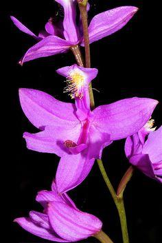 Orchid: Calopogon tuberosus - Flickr - Photo Sharing!