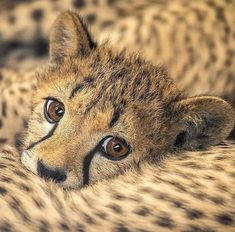 📷 Beautiful Photo by . The cheetah occurs in North, Southern, East Africa and and I Love Cats, Big Cats, Cute Cats, Animals And Pets, Baby Animals, Cute Animals, Wild Animals, Beautiful Creatures, Animals Beautiful