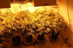 Setting up your Indoor Grow Room Now that you understand the cannabis plant, its needs, and phases of life, you are ready to set up your room so you can get growing soon. There are many different places that people grow cannabis indoors, including read Growing Weed, Hydroponic Grow Systems, Hydroponics, Marijuana Plants, Cannabis Plant, Cannabis Cultivation, Grow Room Design, Ganja, Gardens
