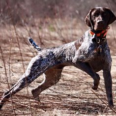 If only my gsp could figure out how to hunt