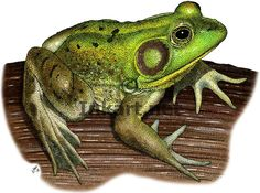 Full color illustration of a Pig Frog (Rana grylio)
