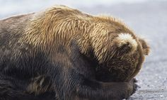 Congress Just Made It Officially Legal To Kill Hibernating Bears