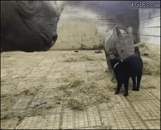 """4gifs: """"They are cautiously optimistic about this furry, hornless rhino. [video] """""""