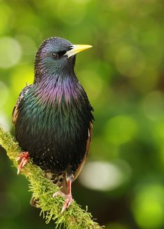 Starling by Alan Hinchliffe on 500px