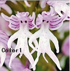 Italica Orchid Flower Seeds Naked Man Orchid Flower Seeds One Pack by Flowersandseeds, $9.49 USD