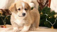 Corgi Names, Dog Breed Names, Puppy Names, Types Of Dogs Breeds, Dog Breeds, Corgi Dog, Husky Puppy, Best Male Dog Names, Cute Puppies