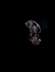 Rottweiler. Outstanding photography.