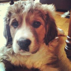 golden- retriever, leonberger, Bernese Mountain dog mix puppy!