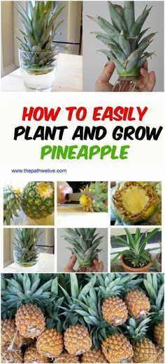 Growing a Pineapple in Water From a Pineapple Top Wachsende Ananas in Wasser Von Ananas Top Home Vegetable Garden, Fruit Garden, Edible Garden, Garden Plants, Growing Vegetables, Growing Plants, Organic Gardening, Gardening Tips, Indoor Gardening