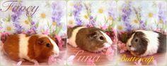 3 cute guinea pigs ♥ Fancy, Luna & Buttercup ♥ #cavy #guinea pigs #pets #adopted