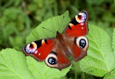 Butterflies of Europe - Peacocl Ianchis io, Lardodn Chase, Berkshire