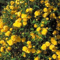 Un arbuste très rustique à la floraison printanière jaune.