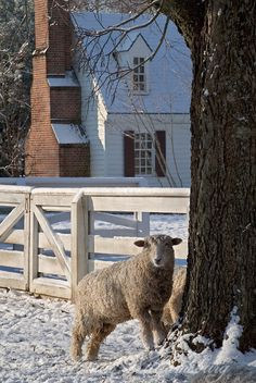 Leicester Longwool Sheep in a snow covered pasture. Colonial Williamsburg's Historic Area, Williamsburg, Virginia.