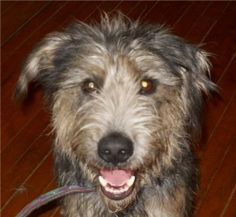 Bear is an adoptable Airedale Terrier Dog in Pardeeville, WI. Bear is 2 years old and weighs about 50 - 55 pounds.  He was a private surrender because the family couldn't take care of him anymore.  He...