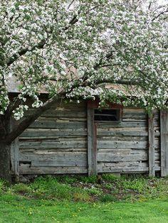 Door County, WI; apple tree in bloom