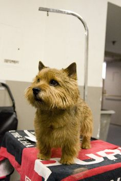 norwich terrier.  I love these little dogs and the norfolk terrier too.  Very fiesty guys.
