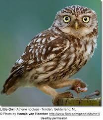 Image result for little owl