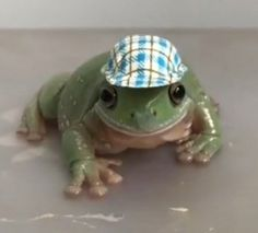 Frog Pictures, Animal Pictures, Cute Little Animals, Cute Funny Animals, Pet Frogs, Cute Reptiles, Frog Art, Frog And Toad, Amphibians