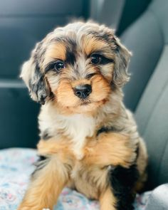 Miniature Aussiedoodle (Australian Shepherd & Poodle Mix) Source by julielungh The post Miniature Aussiedoodle (Australian Shepherd & Poodle Mix) appeared first on Avery Dogs. Cute Dogs And Puppies, Baby Dogs, Pet Dogs, Doggies, Cutest Small Dogs, Mini Doodle Puppies, Cute Dog Mixes, Aussie Doodle Puppy, Mini Aussie Puppy
