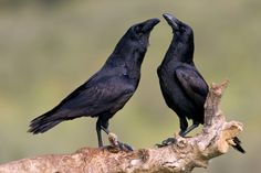 The ability to consciously plan for the future has long been thought to be uniquely human. Now, new research from Sweden has found ravens can also think ahead. Photo by Jesus/via Adobe