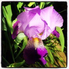 2015 - From my Texas garden purple Bearded Iris my first Spring flowers