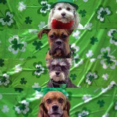 Happy St Paddy's Day!  #stpatricksday #stpaddysday #greenbeer #TGIF #yycdogs #dogsofinsta #dogsofinstgram