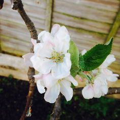 lylia rose april 2014 garden photo flowers lifestyle summer blog blogger apple tree