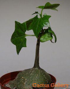 Gerrardanthus Cactus gallery
