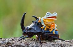 Most 5 Amazing Images of a Tiny Green Tree Frog Riding Atop a Giant Rhinoceros Beetle
