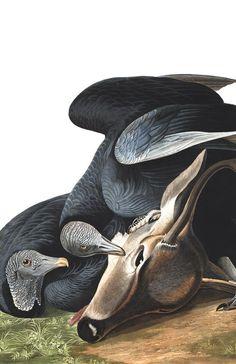 Black Vulture, or Carrion Crow by John James Audubon, Audubon Prints, Audubon Birds, Mississippi, Birds Of America, Bird Embroidery, John James Audubon, Vulture, Bird Illustration, Bird Art